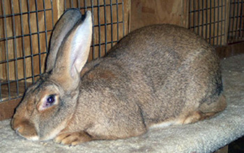 Home Niswonger Farms Flemish Giant Rabbits For Sale